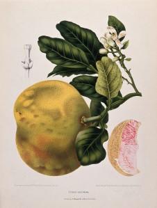 V0042686 Pummelo or Pamplemousse (Citrus maxima (Burm.) Merr.): flowe