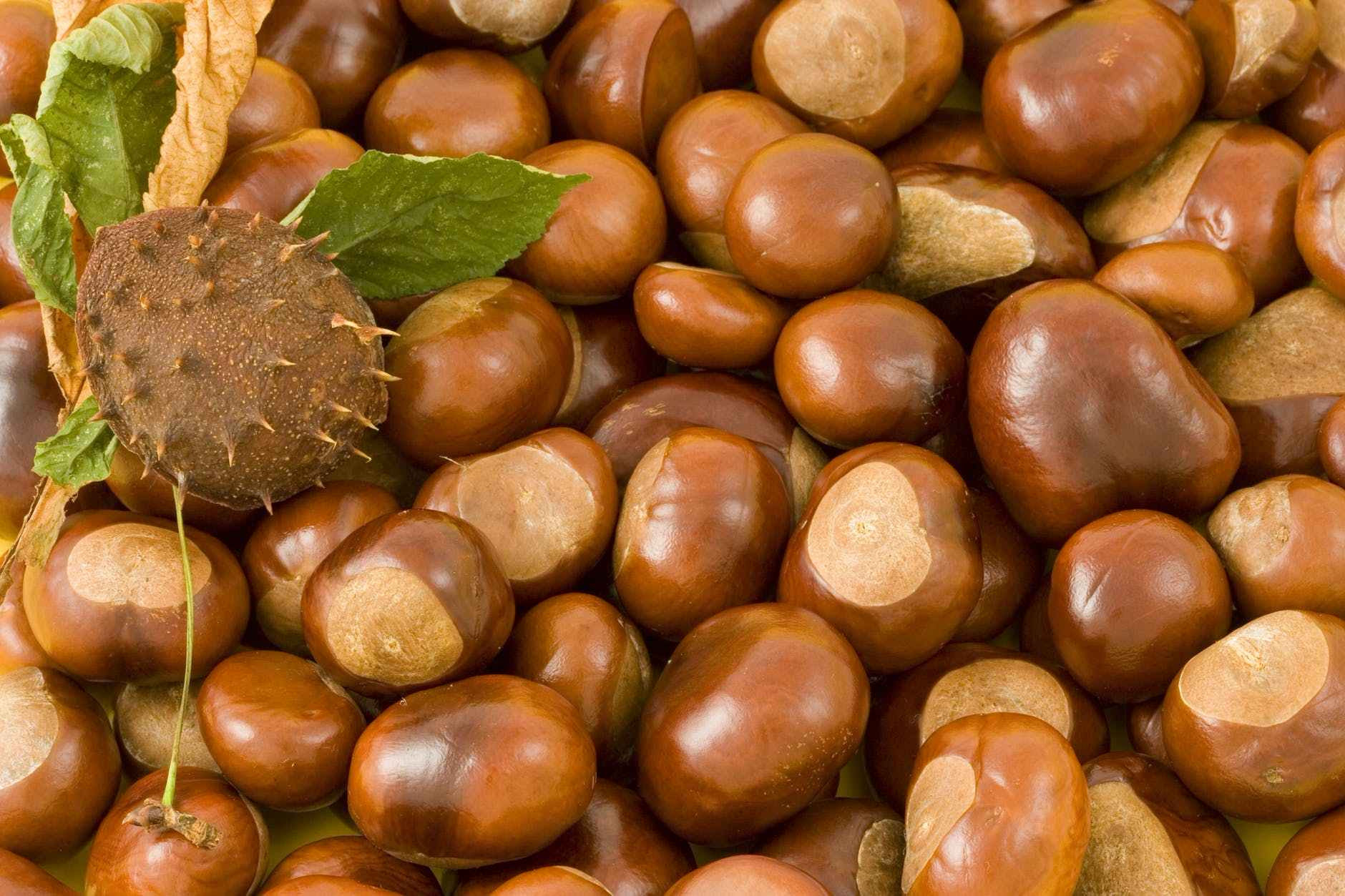conkers-conker-background-leaves-41948.jpeg
